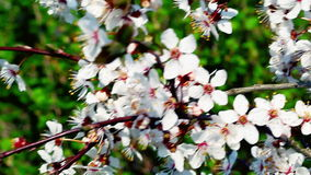 Fruit tree blossoms stock video footage