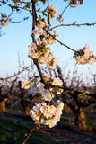 Fruit tree blossoms in the warm light of morning Royalty Free Stock Photos