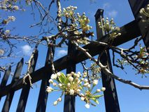 Fruit Tree Branch in Blossom Hanging over Metal Fence in Jersey City, NJ in Spring. stock photo