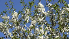 Fruit tree branch with white blooms move in wind in spring. 4K. Fruit tree branches twigs with white blooms move in wind in spring time on blue sky background stock video