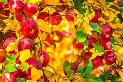 Ripe apples in yellow leafed orchard ready for harvesting royalty free stock photo
