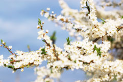 Fruit tree brunch in blossom Stock Photography