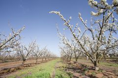 Fruit tree in flower in row. Extremadura region, spain royalty free stock photography