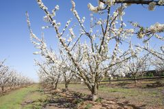 Fruit tree in flower in row. Extremadura region, Spain royalty free stock images