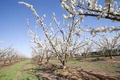 Fruit tree in flower in row. Extremadura region, spain royalty free stock photo