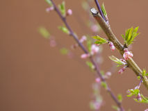 Fruit Tree - Flower in Spring Royalty Free Stock Photo