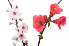 Fruit-tree flowers isolated Royalty Free Stock Photography