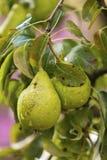 Fruit tree in French garden in Chateau de Villandry, France, Loire Valley. stock photo