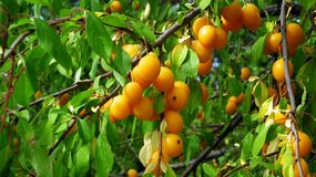 Fruit Tree, Fruit, Apricot, Citrus stock images