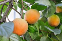 Fruit Tree, Fruit, Diospyros, Persimmon Royalty Free Stock Image