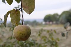 The fruit of the tree. Fruit trees in the field hanging from the trees Stock Images