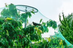 Fruit Tree growing in protective net for birds. Danger for animal Stock Image