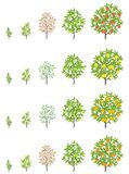 Fruit Tree Growth Stages. Apple, Peach And Lemon Mandarin Increase Phases. Vector Illustration. Ripening Progression. Fruit Trees Royalty Free Stock Image