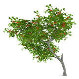 Fruit tree isolated. Prunus armeniaca Stock Photography