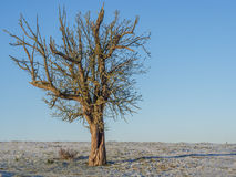 Fruit Tree in January. A lonely apple tree in the winter royalty free stock images