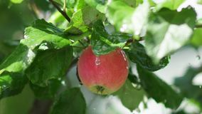 Fruit tree. Juicy red apple with rain drops on the tree branch. Red apple with rain drops on the tree. Apple tree wet from the rain. Rain in the apple orchard stock footage