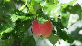 Fruit tree. Juicy red apple with rain drops on the tree branch. Red apple with rain drops on the tree. Apple tree wet from the rain. Rain in the apple orchard stock video footage