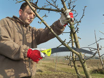 Fruit tree pruning Royalty Free Stock Image
