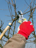 Fruit tree pruning Stock Images