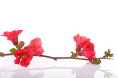 Fruit-tree red flowers Royalty Free Stock Image