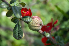 The fruit on the tree with red flowers Royalty Free Stock Images