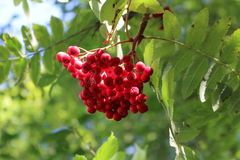 Fruit tree. Red fruit tree and its environment Royalty Free Stock Photography