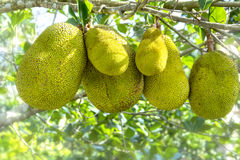 Fruit on the tree with ripe yellow fruit, Stock Image