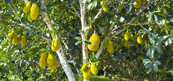 Fruit on the tree with ripe yellow fruit, Stock Photos