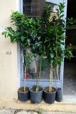 Fruit Tree Saplings Outside Shop Stock Image