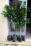 Fruit Tree Saplings Outside Shop Stock Image