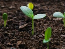 Fruit tree seedlings just emerged from the earth symbolising new life stock photo
