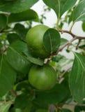 Fruit. Tree Royalty Free Stock Image