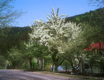 Fruit tree tree with white blossoms in countryside. Royalty Free Stock Photography