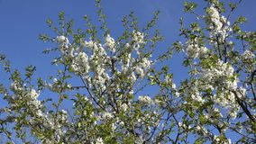Fruit tree twig with white blooms in spring. 4K. Blooming fruit tree branches twigs with white blooms in spring time on blue sky background. Amazing seasonal stock video