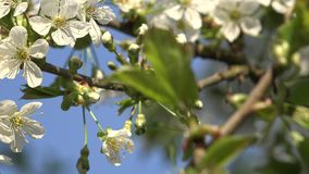 Fruit tree twigs white beautiful blooms in spring time. 4K. Cherry fruit tree twigs white blooms and green leaves move in spring time wind against blue sky stock video footage