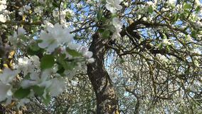 Apple Flowering or Fruit Tree. A fruit tree is a tree which bears fruit that is consumed or used by humans and some animals  all trees that are flowering plants stock footage