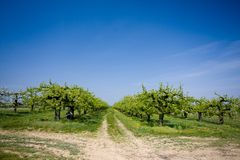 Fruit trees Royalty Free Stock Photos
