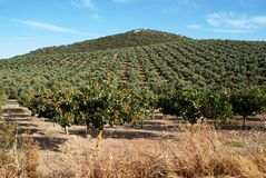 Fruit trees, Andalusia. Stock Images