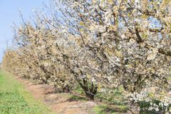 Fruit trees in bloom. Extremadura region, spain stock images