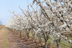 Fruit trees in bloom. Extremadura region, spain stock image