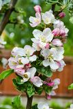 Large flowers of apple tree opened under the sun royalty free stock photography