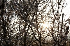 Fruit trees blooming in white in early spring in the garden on a sunny day royalty free stock photos