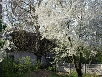 Fruit trees blooming in white in early spring in the garden on a sunny day stock photos