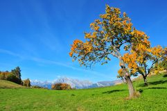 Fruit trees clothed  in the colours of fall. Pear, cherry and apple trees in the Swiss Alps their leaves turning gold with the arrival of fall Royalty Free Stock Images