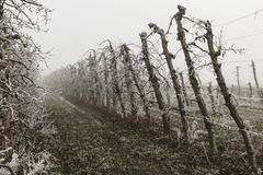 Fruit trees covered by ice during the winter on Lleida Spain. Morning frost on fruit trees. Cold morning on winter in a rural landscape in Lleida Spain stock image