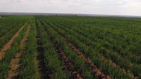Fruit trees on the farm. To the horizon stock footage