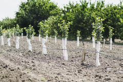 Fruit trees. A garden of fruit trees royalty free stock image