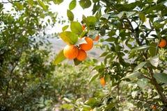 Fruit trees, gardens, orange tree Royalty Free Stock Photo