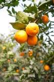 Fruit trees, gardens, orange tree Royalty Free Stock Image