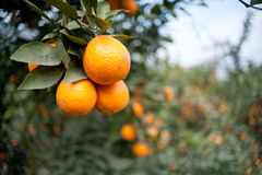 Fruit trees, gardens, orange tree Royalty Free Stock Image